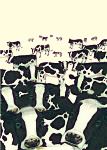 Lisa DAndrea: Cows